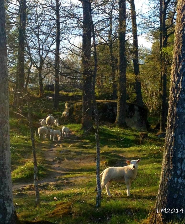 moutons - Kopia