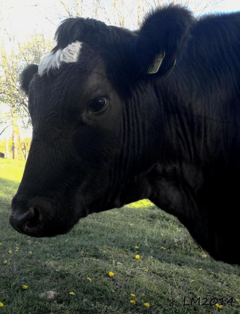 vache - Kopia